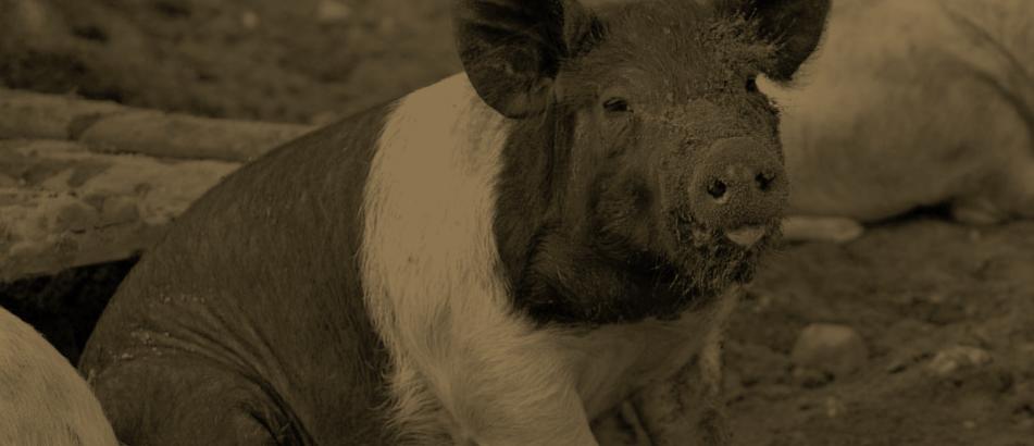 free-range pork